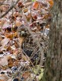 Hawk Camouflaged Vermelho-empurrado nas folhas fotos de stock