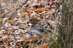 Hawk Camouflaged Vermelho-empurrado nas folhas fotografia de stock