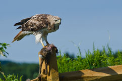 Hawk With Captured Prey Rojo-atado Fotos de archivo