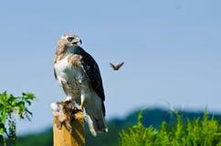 Hawk With Captured Prey Rojo-atado Imágenes de archivo libres de regalías
