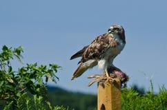 Hawk With Captured Prey Rojo-atado Fotografía de archivo