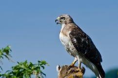 Hawk With Captured Prey Rojo-atado Fotos de archivo libres de regalías