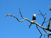 Hawk Caracara Plancus Lizenzfreie Stockfotografie