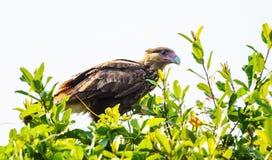Hawk Caracara su un ramo di albero, uccello di Pantanal, Brasile immagine stock libera da diritti
