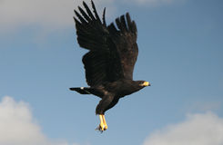Hawk carrying the fish Stock Photography