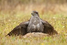 Hawk catched pheasant Royalty Free Stock Photo