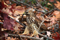 Hawk Catching a Lizard Stock Photos
