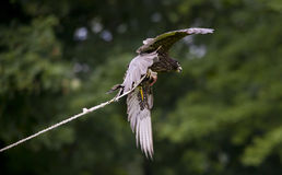 Hawk catching meat Royalty Free Stock Images