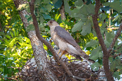Hawk With Chicks del bottaio Fotografia Stock