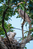 Hawk With Chicks del bottaio Fotografie Stock Libere da Diritti