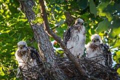 Hawk Chicks del bottaio Fotografia Stock Libera da Diritti