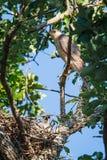 Hawk With Chicks do tanoeiro Imagens de Stock Royalty Free