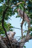 Hawk With Chicks do tanoeiro Fotos de Stock Royalty Free