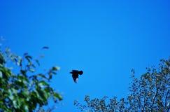Hawk. A hawk circling its lunch Royalty Free Stock Photos