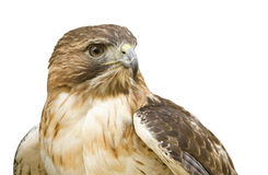 Hawk with clipping path Royalty Free Stock Image