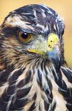 Hawk close up Stock Image