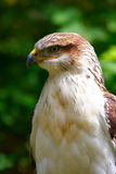 Hawk Close-up stock image