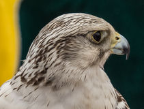 Hawk close up of face in Spain Royalty Free Stock Photography