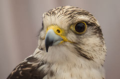 Hawk close up of face in Spain Royalty Free Stock Images