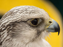 Hawk close up of face in Spain Royalty Free Stock Image