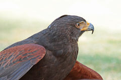 Hawk Stock Photography