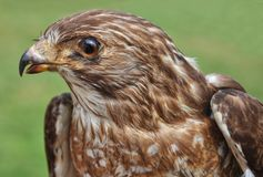 Hawk. Close up of a small hawk on green background Royalty Free Stock Photo
