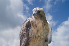 Hawk and cloudscape Stock Photos