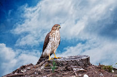 Hawk Composite Royalty Free Stock Photography
