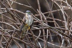 Hawk Cuckoo común Foto de archivo libre de regalías