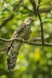 Hawk Cuckoo grande Imagen de archivo libre de regalías
