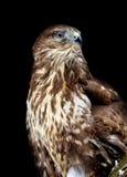 Hawk on dark background Stock Images