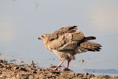Hawk, Dark Chanting Goshawk - Wild Birds from Africa - Blu Royalty Free Stock Photography