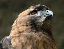 Hawk Royalty Free Stock Photos