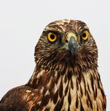 Hawk Eagle royaltyfri foto