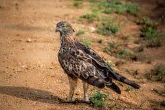 Hawk Eagle com crista Fotografia de Stock Royalty Free