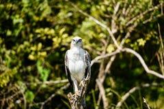 Hawk Eagle com crista Fotografia de Stock