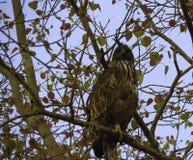 Hawk Eagle con cresta imágenes de archivo libres de regalías