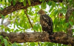 Hawk Eagle con cresta Fotos de archivo libres de regalías