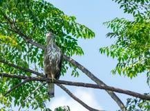 Hawk Eagle crestato fotografia stock libera da diritti