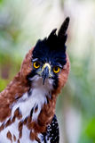 Hawk eagle front royalty free stock photography