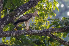 Hawk Eagle mit Haube Stockbild