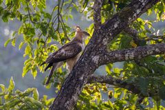 Hawk Eagle mit Haube Stockbilder