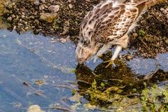 Hawk Eagle mit Haube lizenzfreie stockbilder