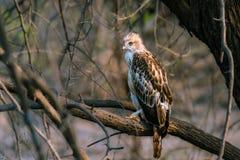 Hawk Eagle mit Haube hockte Stockbild