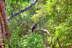 Hawk Eagle mit Haube sitzt auf einem Zweig im grünen Dschungel des Yala Nationalpark Lizenzfreie Stockfotografie