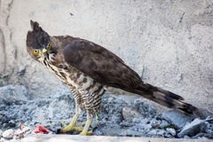 Hawk Eagle variável (cirrhatus de Nisaetus) imagem de stock