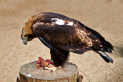 Hawk eat meat Royalty Free Stock Photo