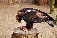 Hawk eat meat Stock Image