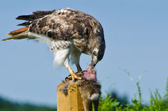 Hawk Eating Captured Rabbit Rosso-munito Fotografia Stock