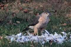 Hawk eating a dove Royalty Free Stock Photos